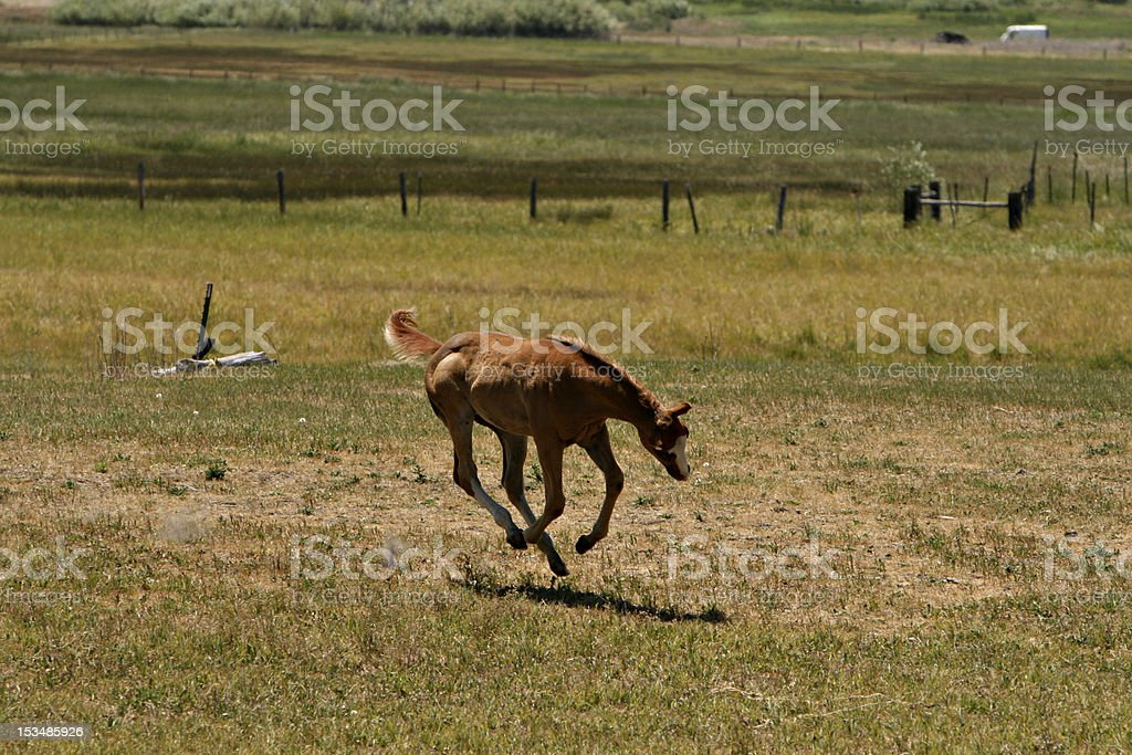 Colt on the Run royalty-free stock photo