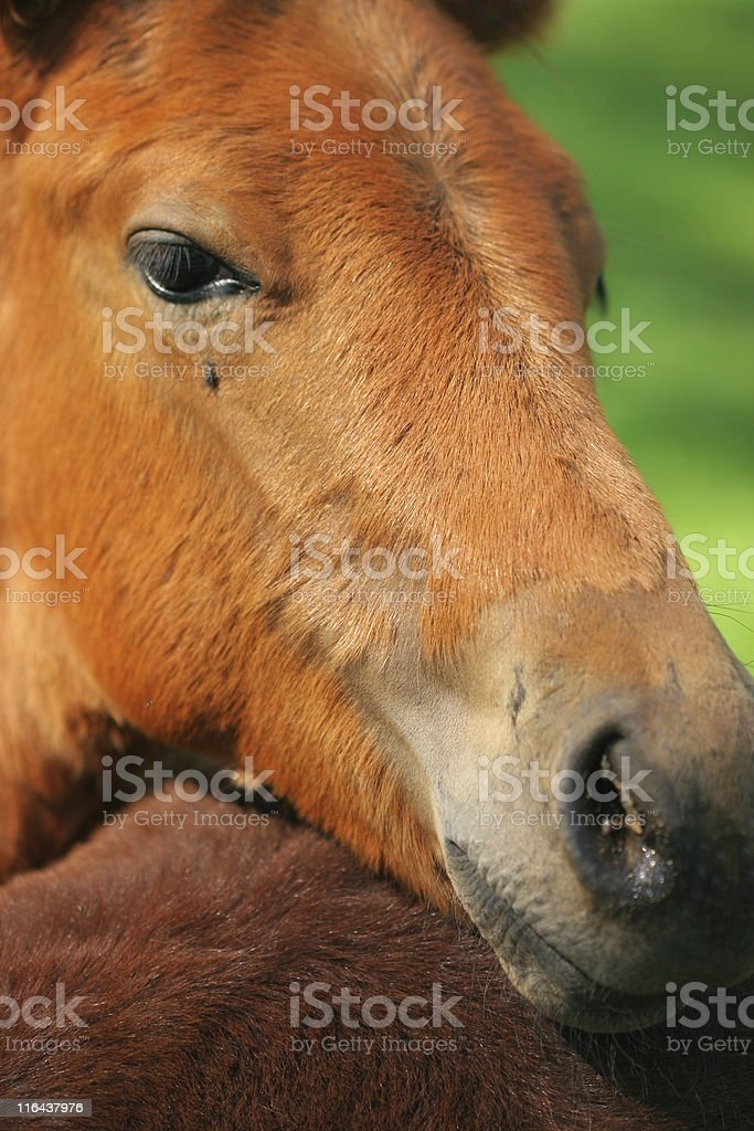 Colt royalty-free stock photo