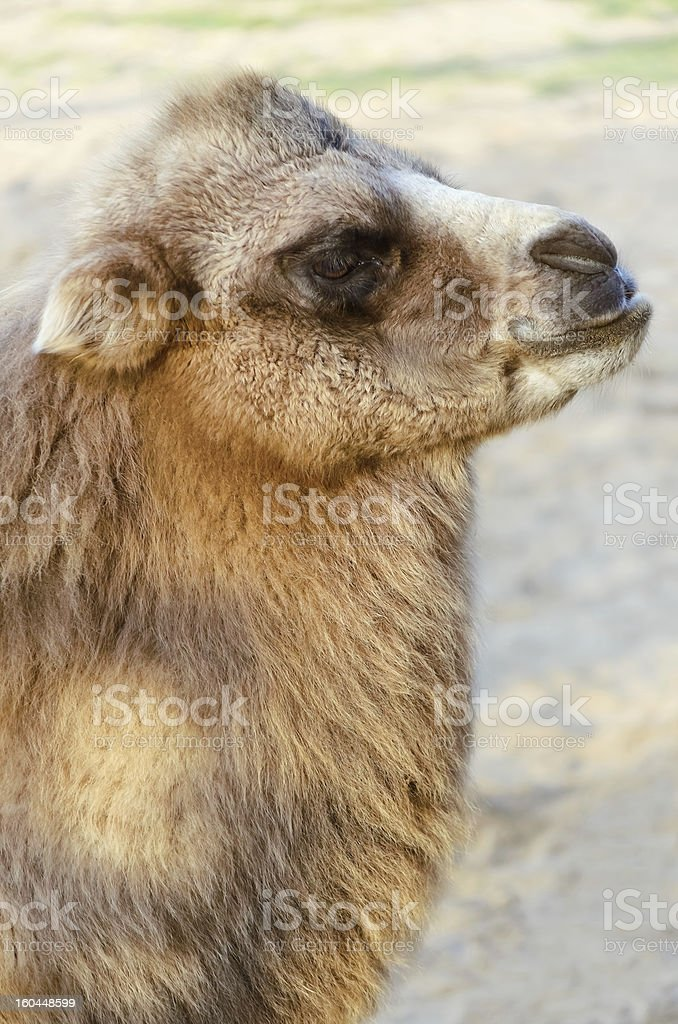 Colt Portrait royalty-free stock photo