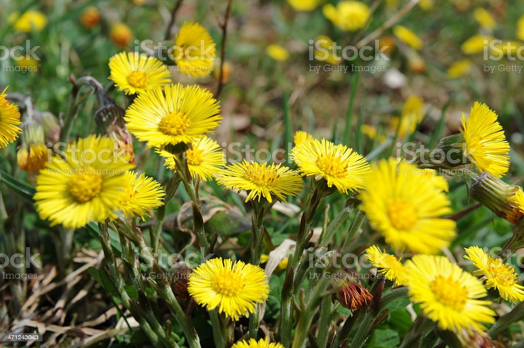 Coltsfoot blooming stock photo