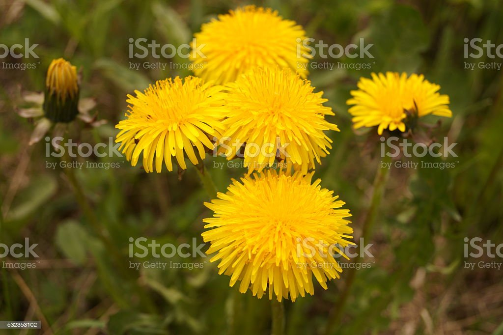 coltsfoot stock photo