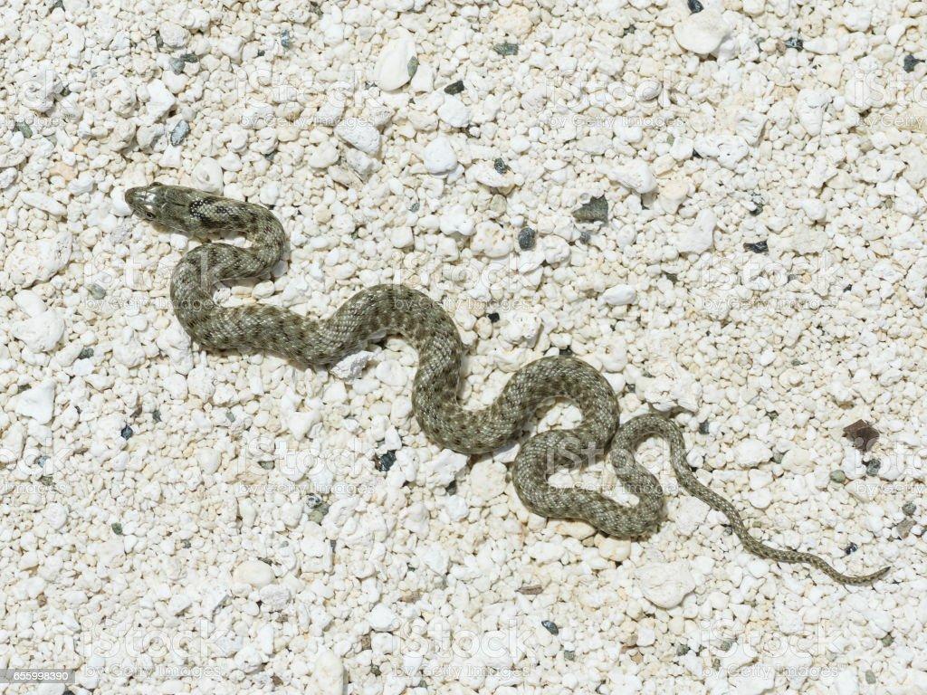 Coluber Snake On white Sand stock photo