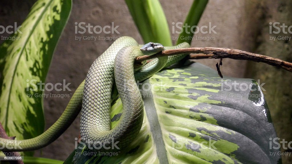 Colubrid Snake stock photo