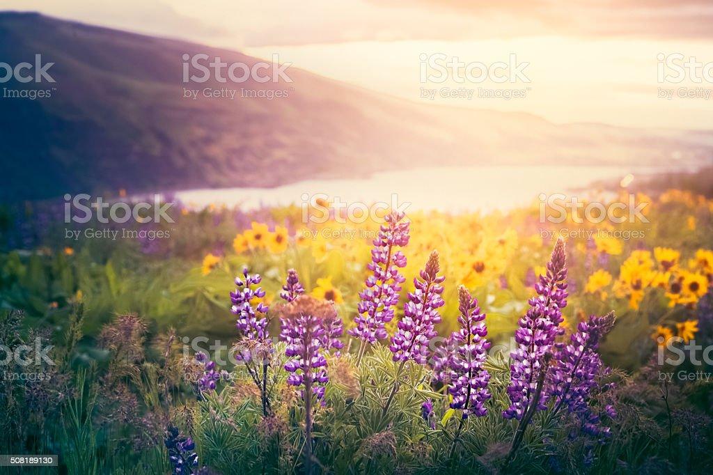 Columbia Gorge Wildflowers In Morning Sunrise stock photo