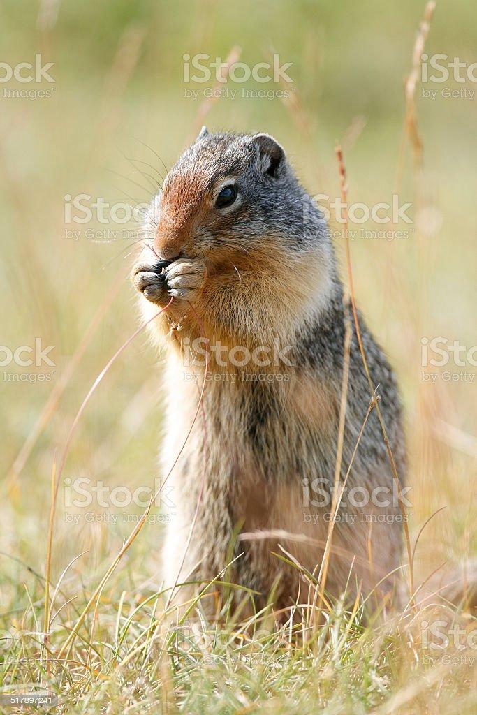 Columbia Ground Squirrel - Banff National Park, Canada stock photo