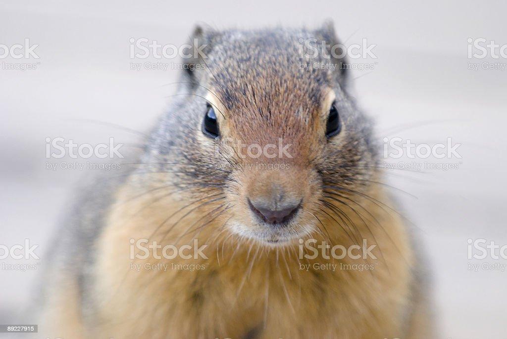 Columbia ground squirrel stock photo