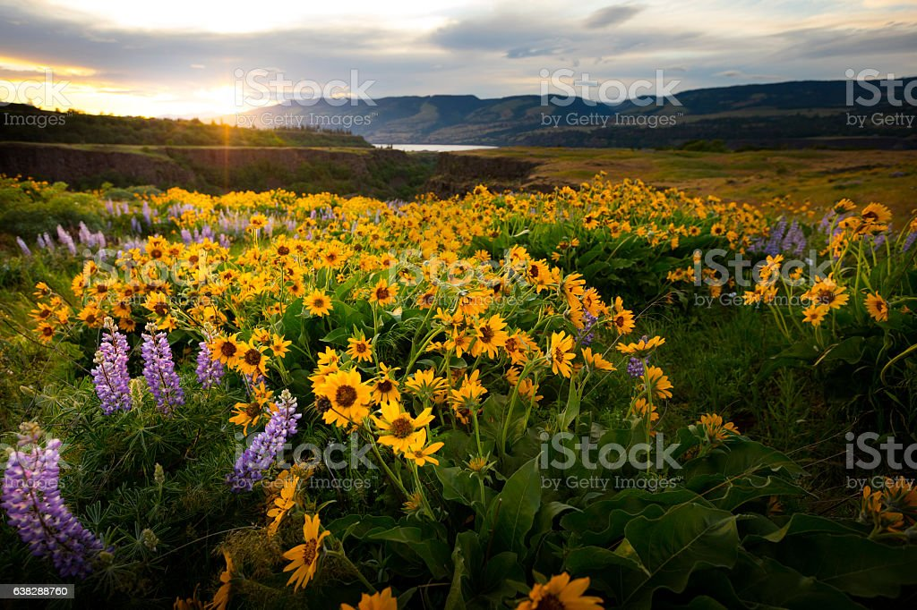 Columbia River Gorge Wildflowers stock photo