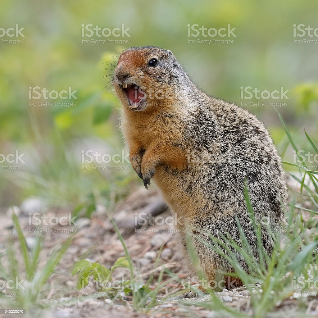 Columbian Ground Squirrel Callling in Banff National Park stock photo