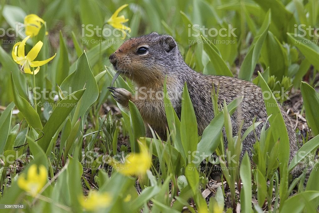 Columbian Ground Squirrel Eating Grass stock photo
