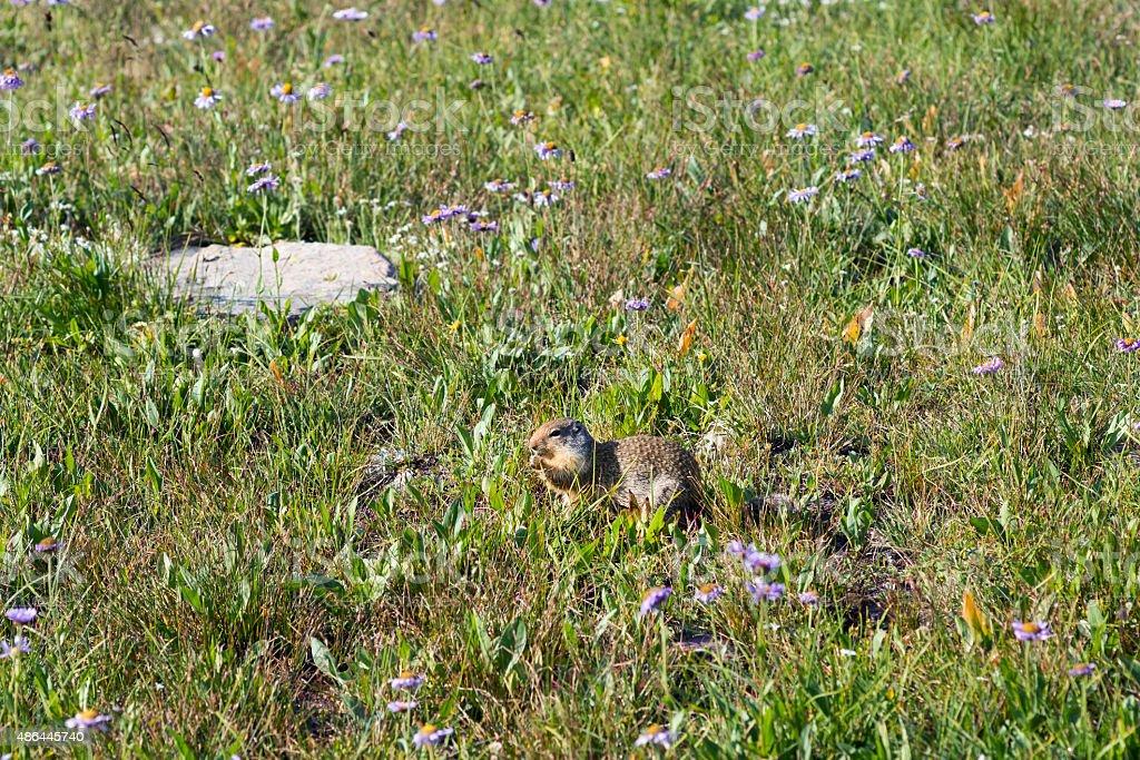 Columbian Ground Squirrel  (Urocitellus columbianus) in an alpin stock photo