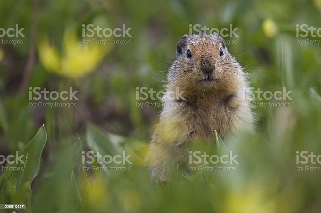 Columbian Ground Squirrel in Glacier Lilies stock photo