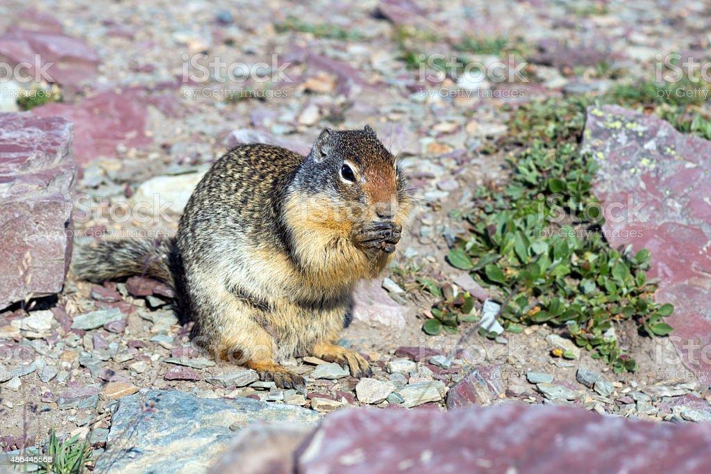 Columbian Ground Squirrel  (Urocitellus columbianus)  in Glacier stock photo