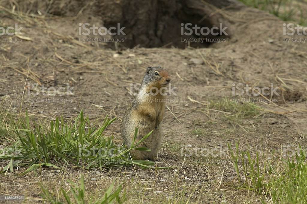 Columbian Ground Squirrel in southern British Columbia. stock photo