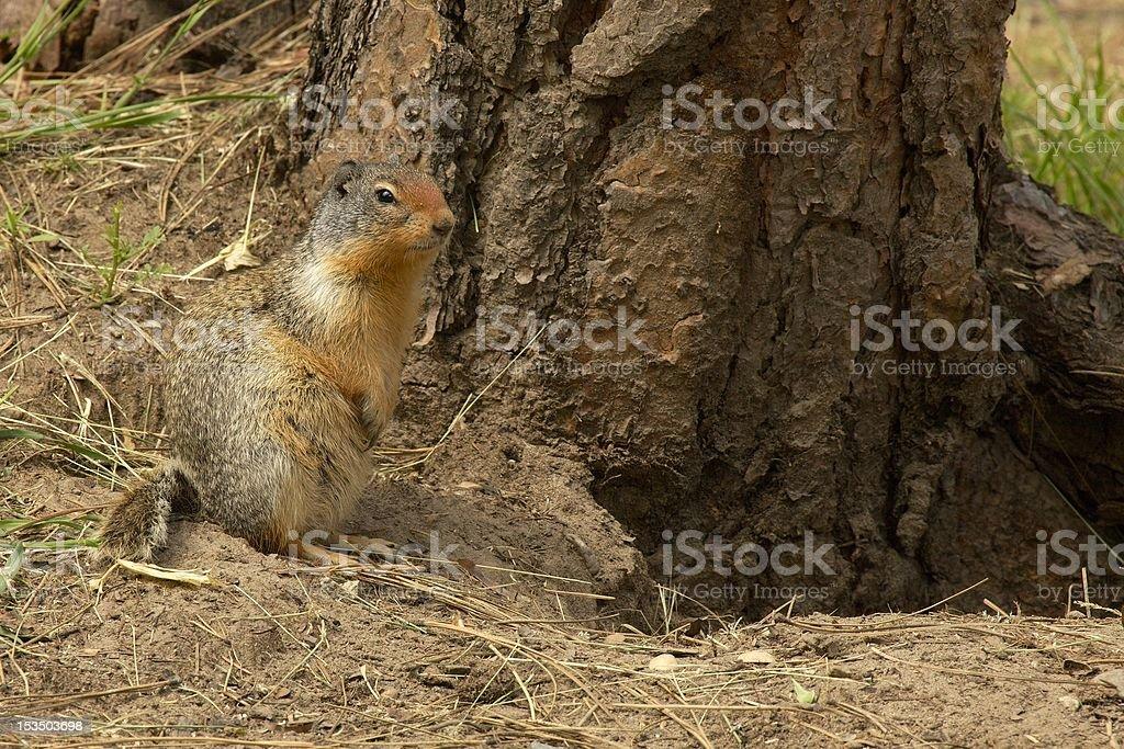 Columbian Ground Squirrel next to den. stock photo