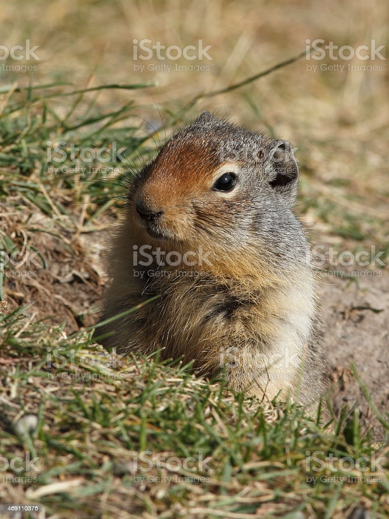 Columbian Ground Squirrel Peering from its Burrow - Banff, Canada stock photo