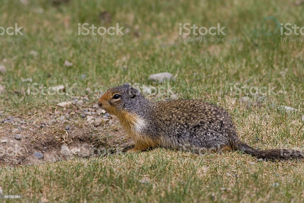 Columbian Ground Squirrel royalty-free stock photo