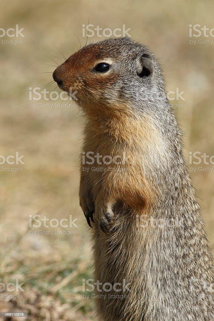 Columbian Ground Squirrel Scouting its Territory - Alberta, Cana stock photo