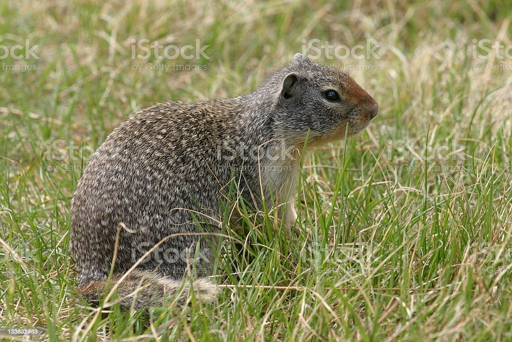 Columbian Ground Squirrel side view. stock photo