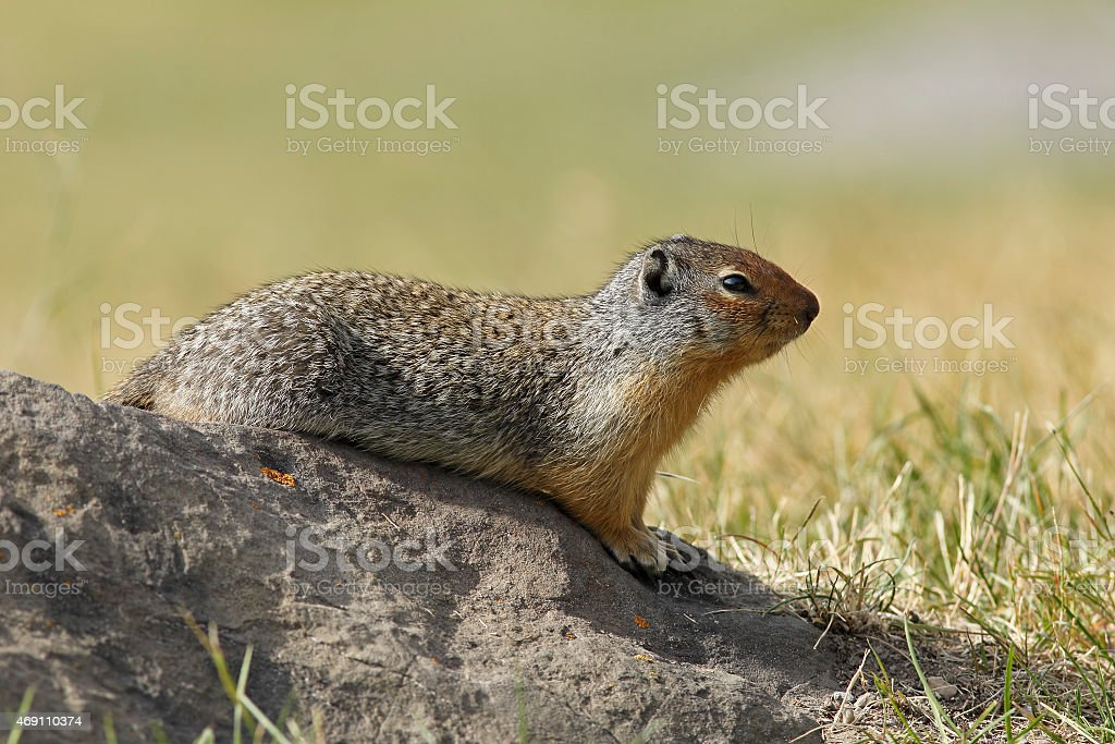 Columbian Ground Squirrel Sitting on a Rock - Banff, Canada stock photo