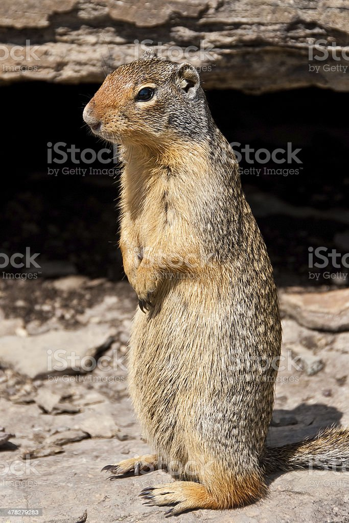 Columbian Ground Squirrel Standing on its Hind Legs stock photo