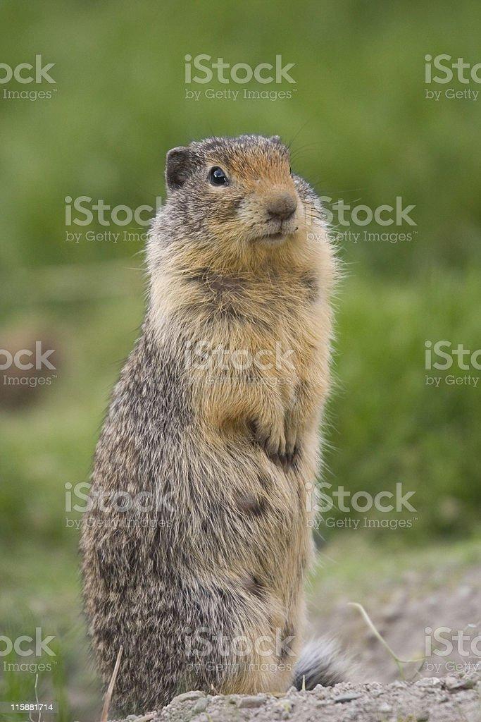 Columbian Ground Squirrel upstanding stock photo