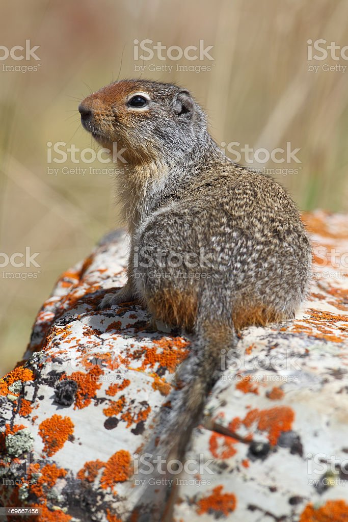 Columbian Ground Squirrel - Waterton Lakes National Park stock photo