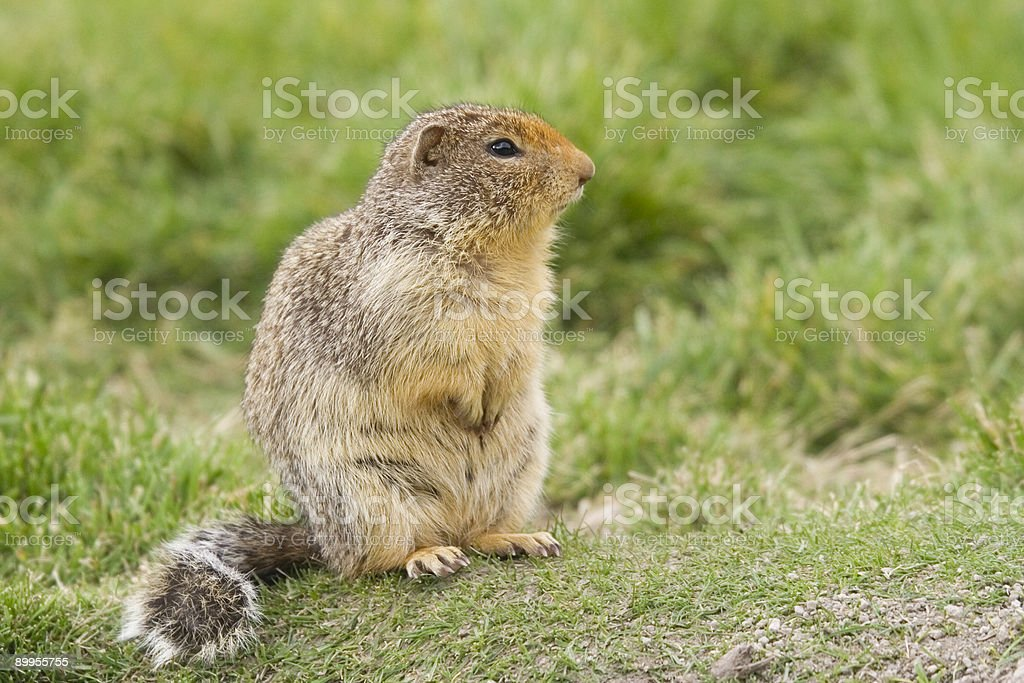 Columbian Ground Squirrel with buschy tail - side view royalty-free stock photo