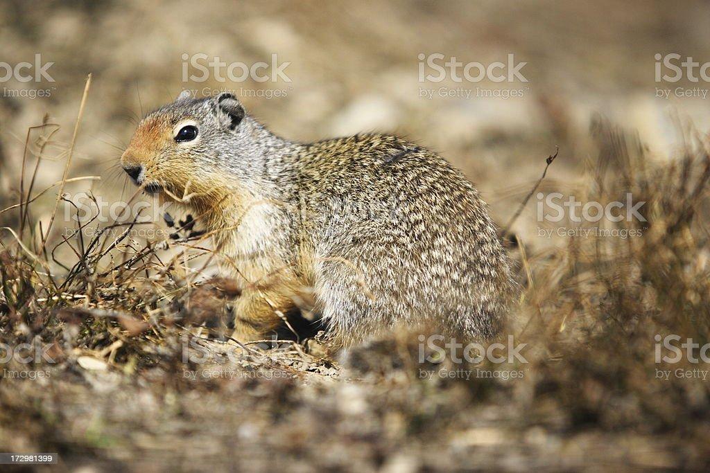 Columbian Squirrel Spermophilus Urocitellus columbianus stock photo