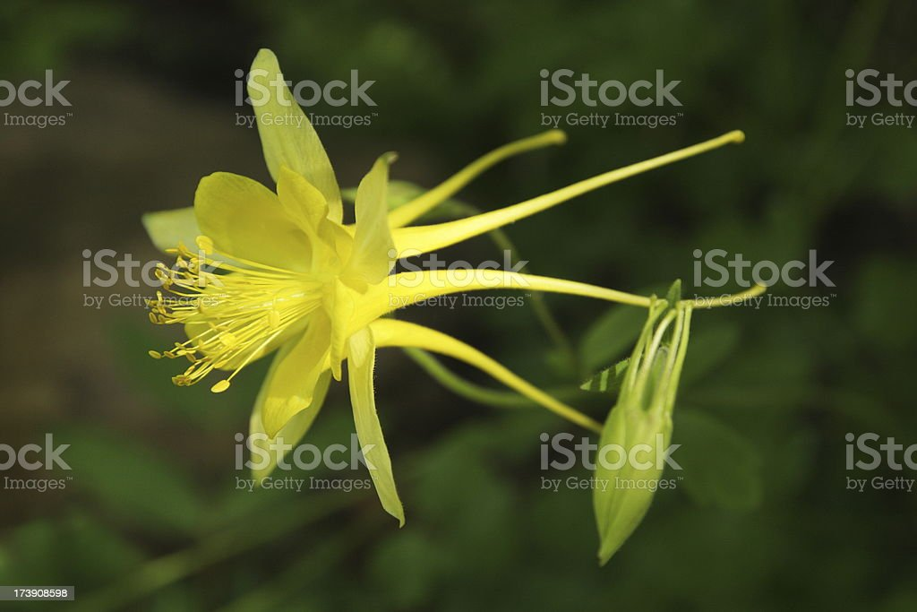 Columbine Aquilegia flavescens Buttercup Flower Blossom stock photo