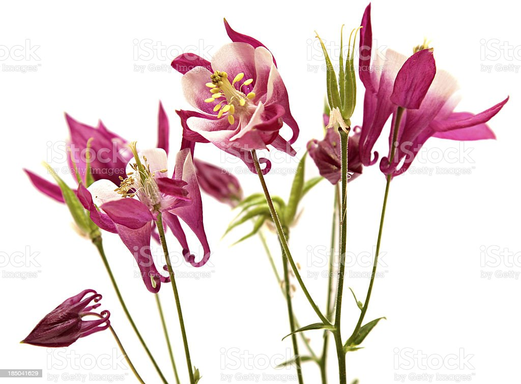 columbine. bells flowers isolated on white background. royalty-free stock photo