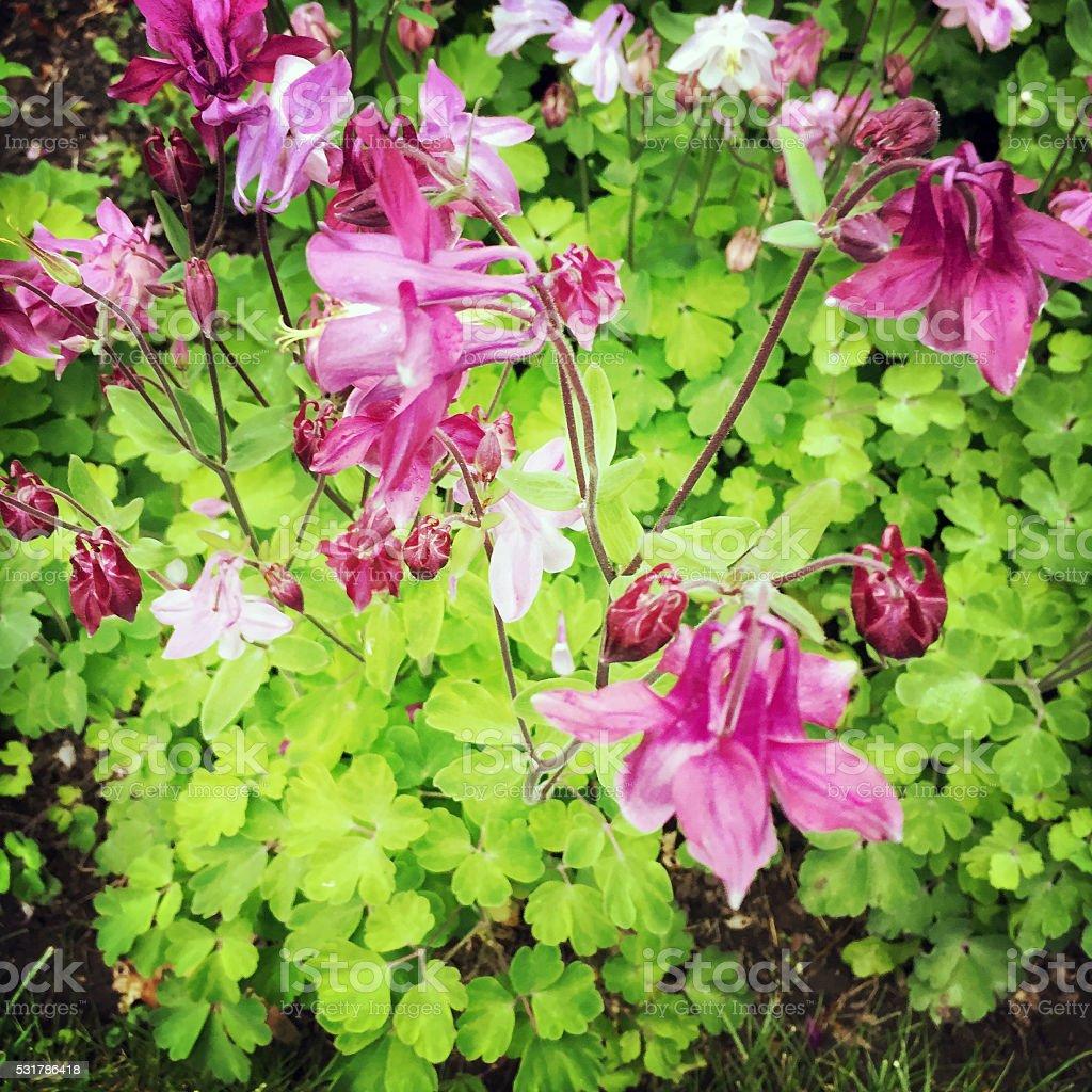 Columbine perennial flower garden stock photo 531786418 istock columbine perennial flower garden royalty free stock photo dhlflorist Images