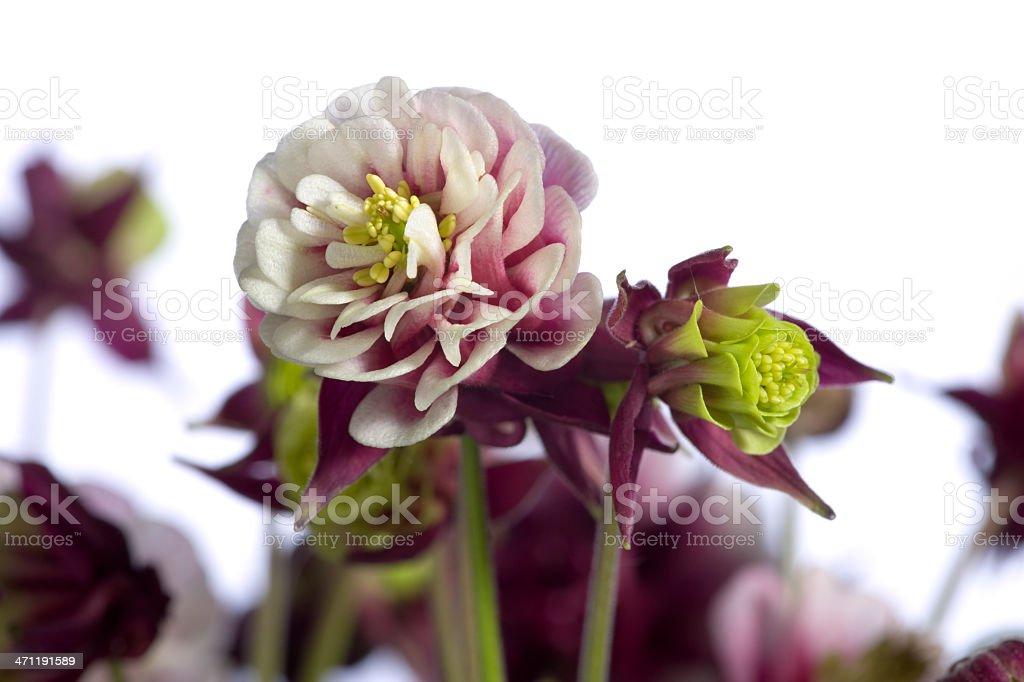 Columbine (Aquilegia vulgaris) stock photo