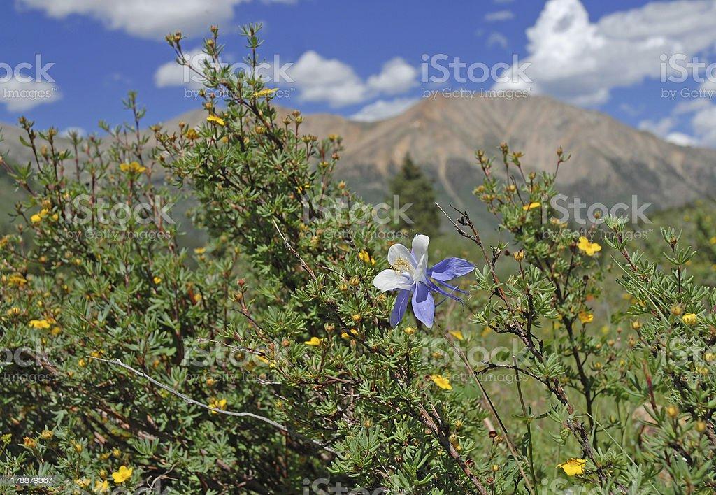 Columbine, State Flower of Colorado royalty-free stock photo