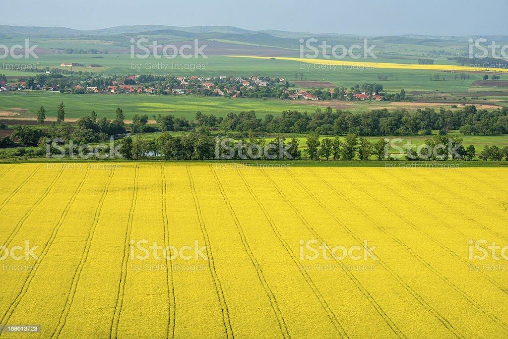 colza field stock photo