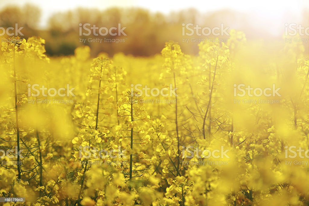 Colza field with sunset stock photo