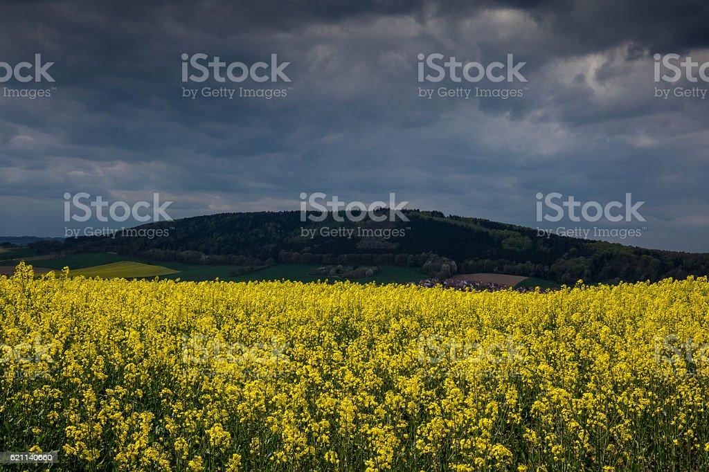 colza fields of Lower Saxony , in Germany stock photo
