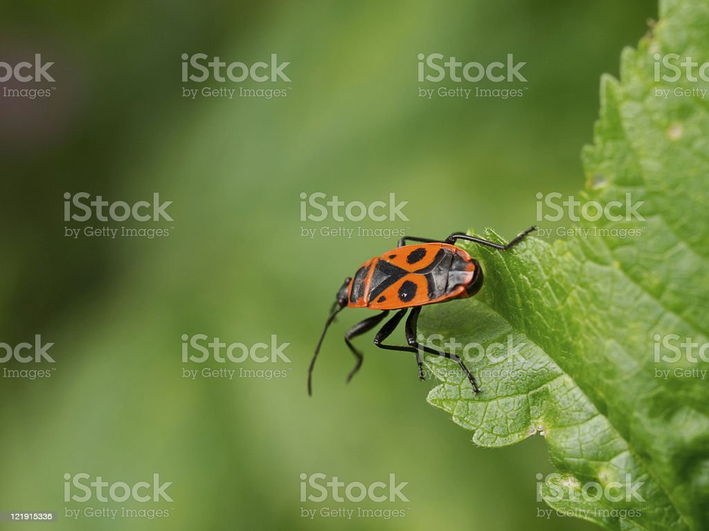 Comb-Clawed Beetle stock photo