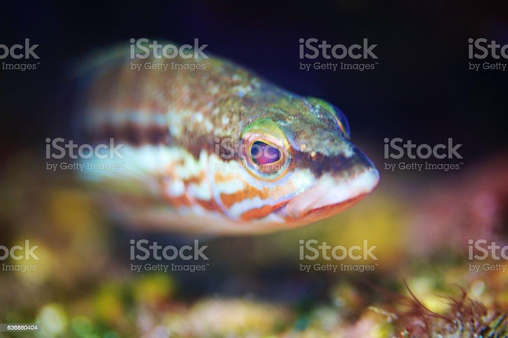 Comber fish (Serranus cabrilla) stock photo