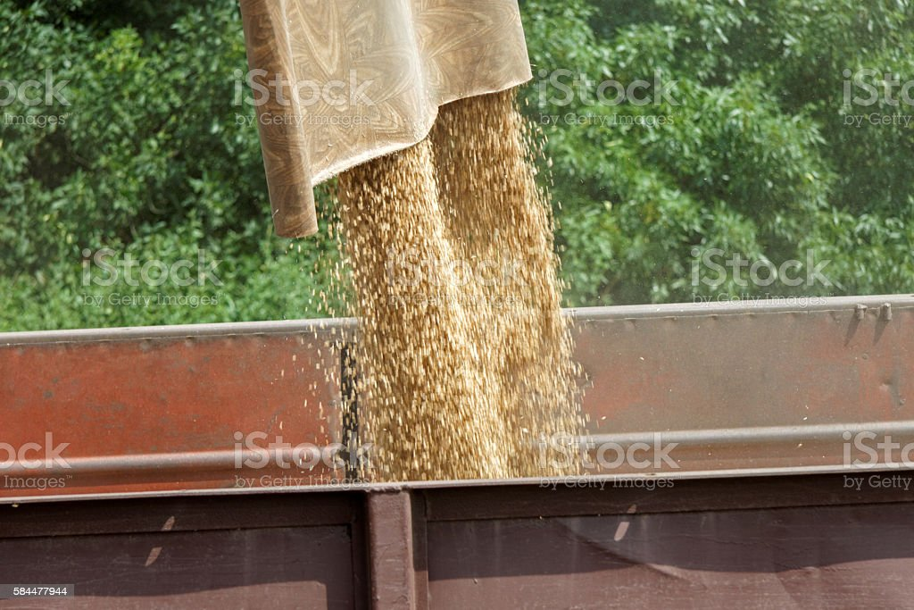 Combine harvester load wheat in the tractor trailer stock photo