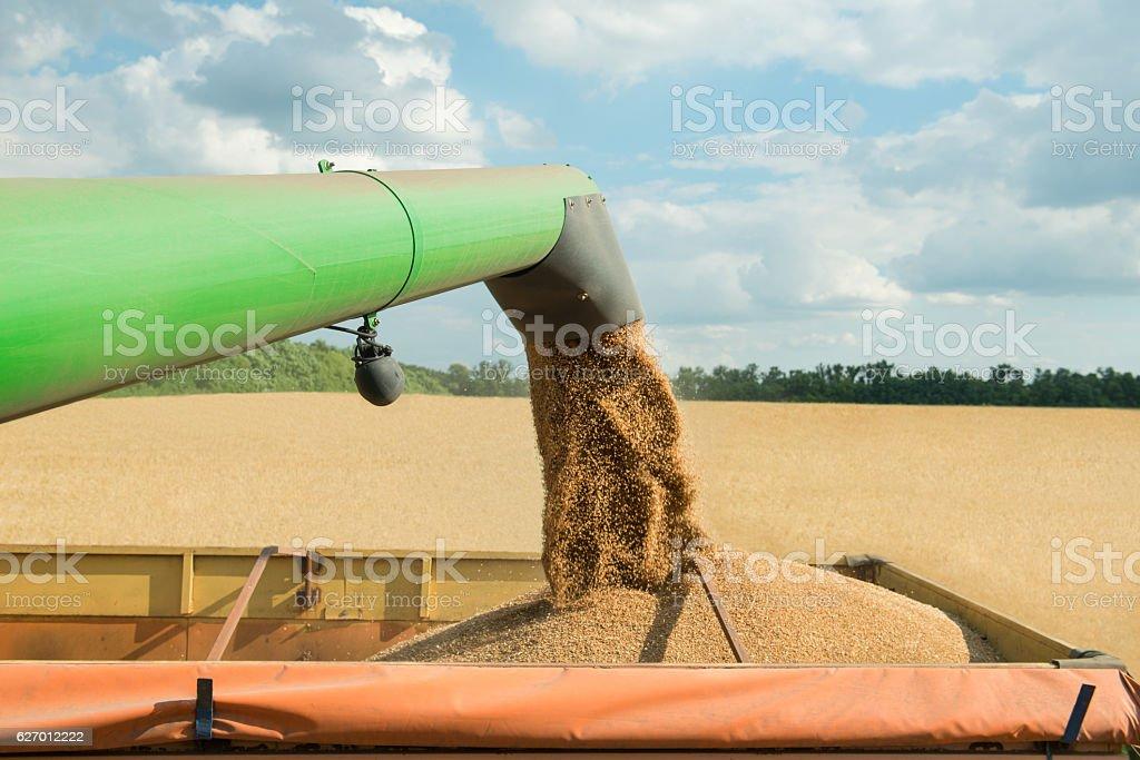 Combine harvester transferring freshly harvested wheat to trailer for transport stock photo