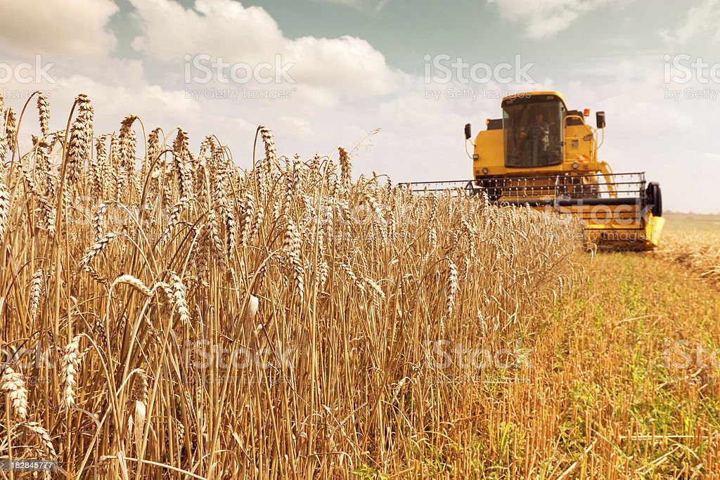 Combine harvester working in a wheat field stock photo