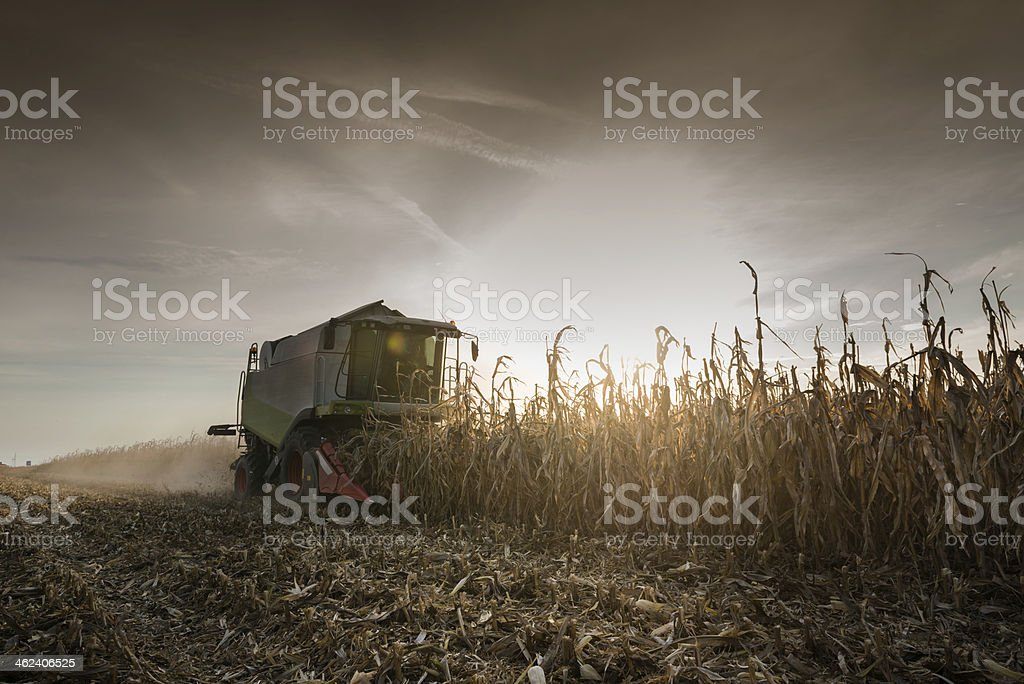 Combine harvesting corn at sunset stock photo