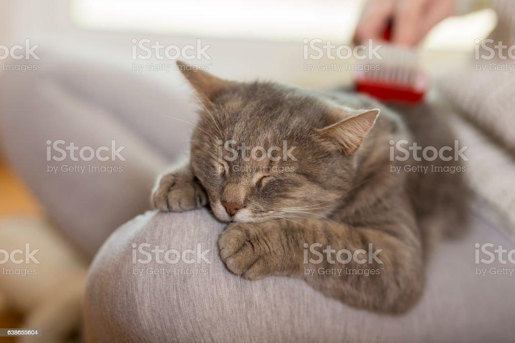Combing the cat stock photo