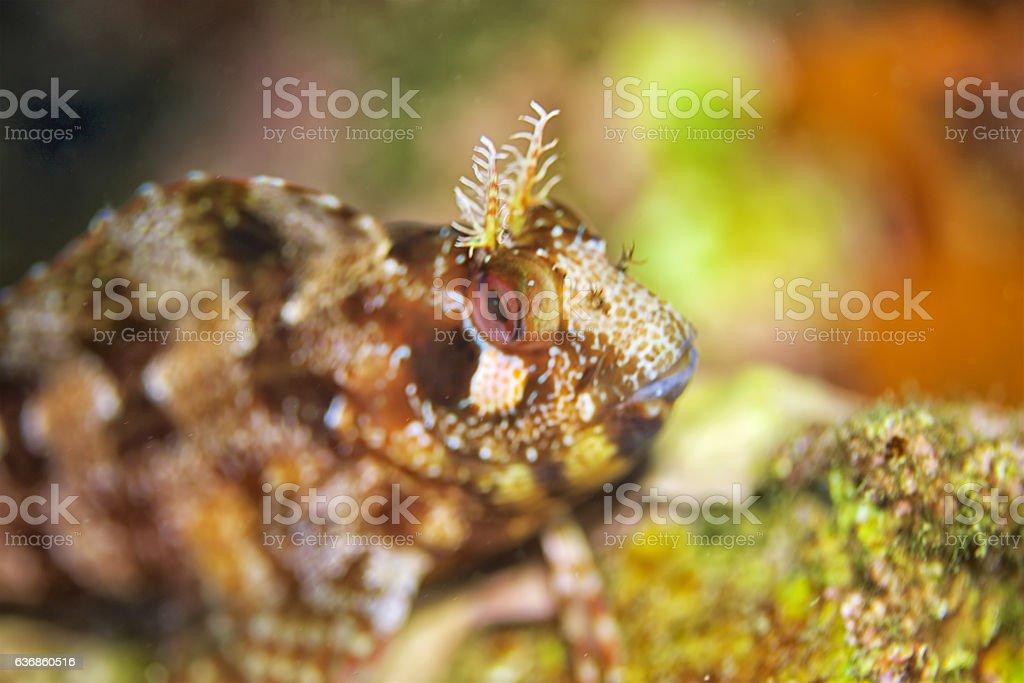 Combtooth blennies fish (Blenniidae) stock photo