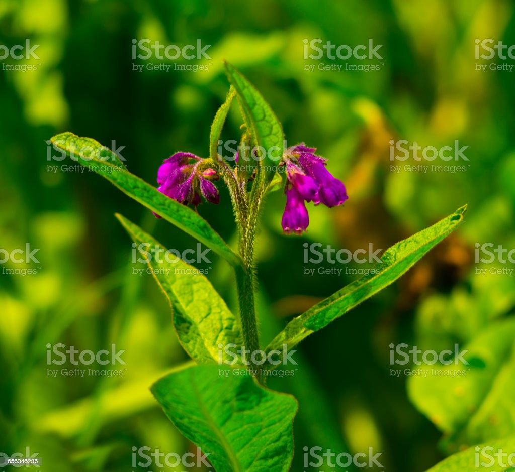 Comfrey. Comfrey (Symphytum officinale) flowers of a used in organic medicine. comfrey blossoming stock photo