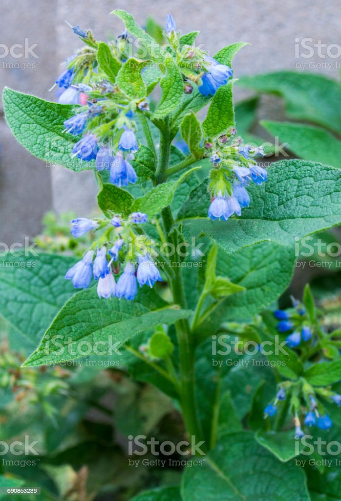 Comfrey. Comfrey (Symphytum officinale). flowers of a used in organic medicine. comfrey blossoming stock photo