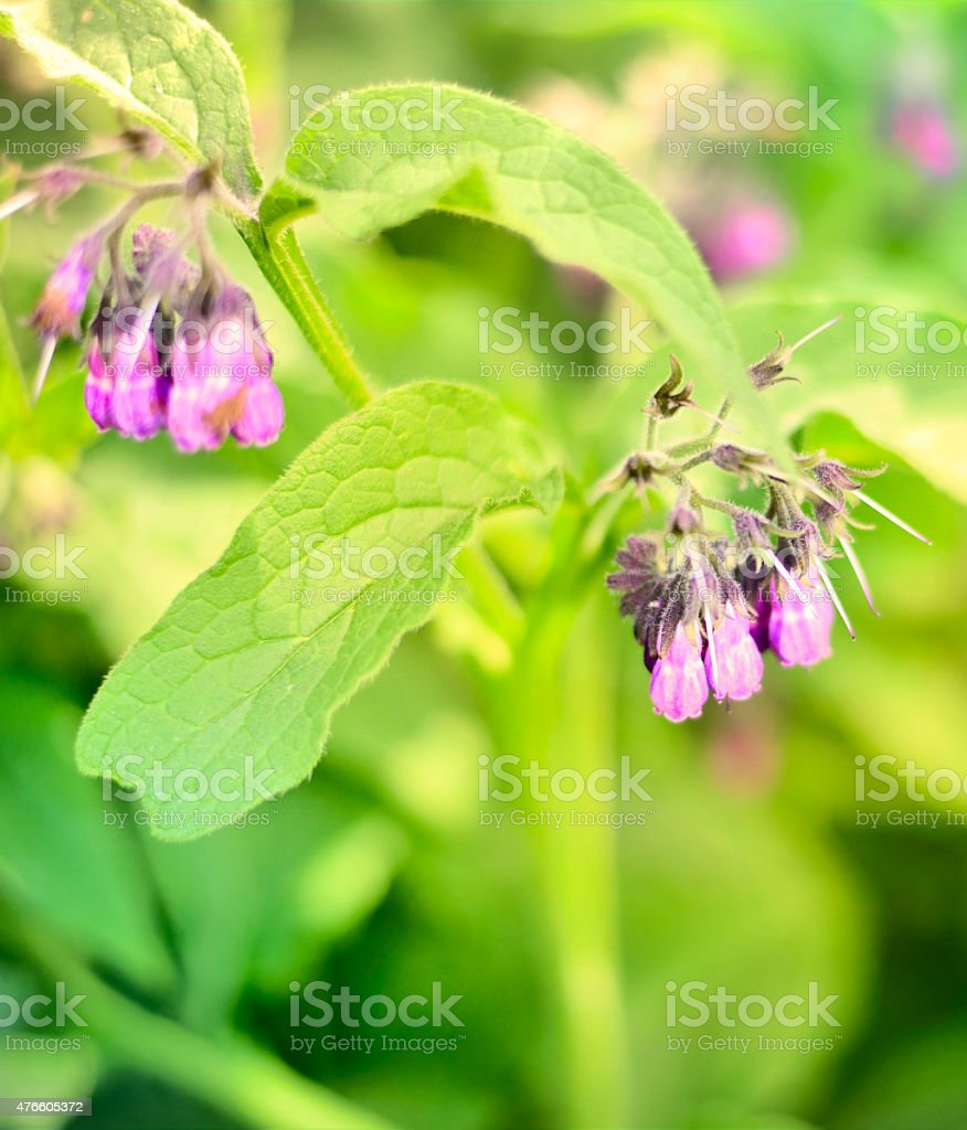 Comfrey flower stock photo