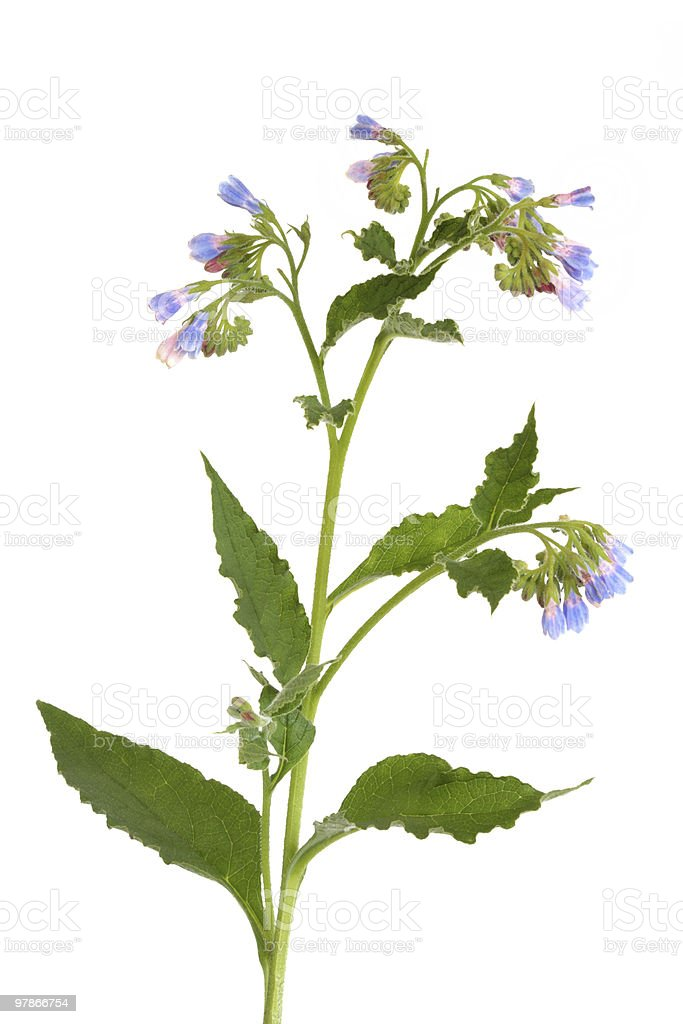 Comfrey Herb in Flower stock photo
