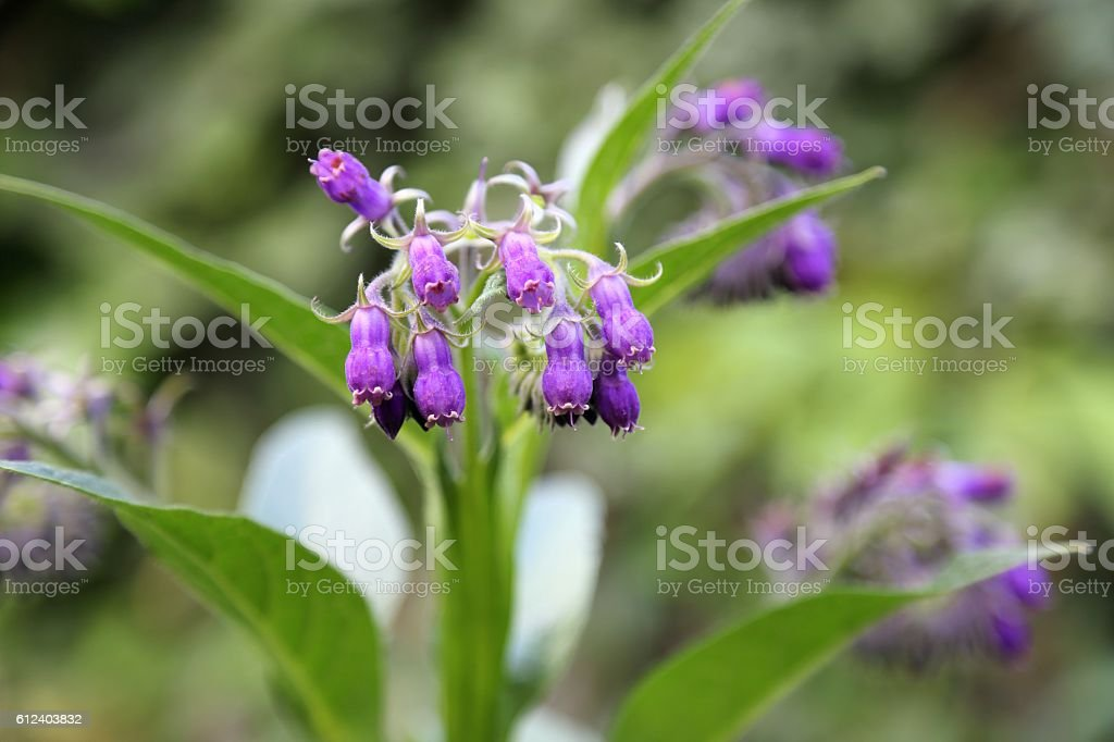 Comfrey stock photo