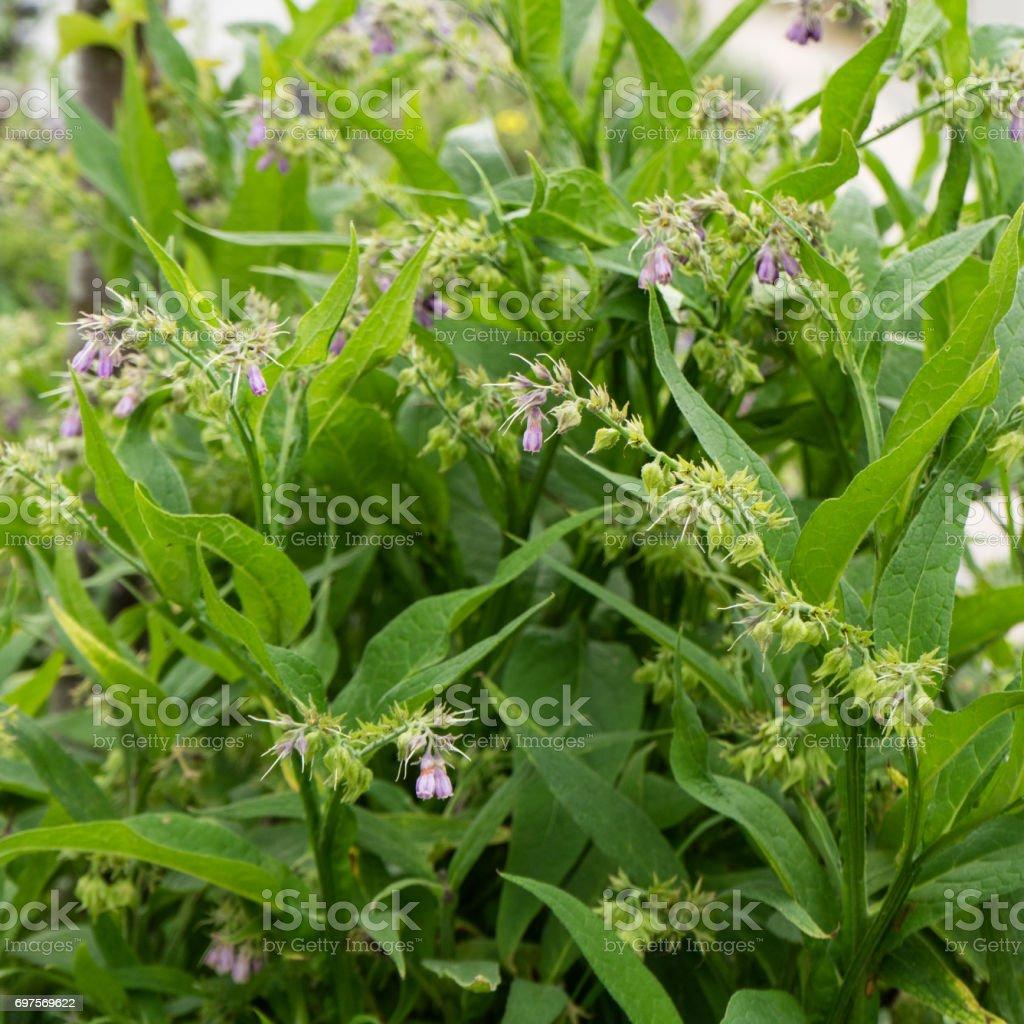Comfrey plant stock photo